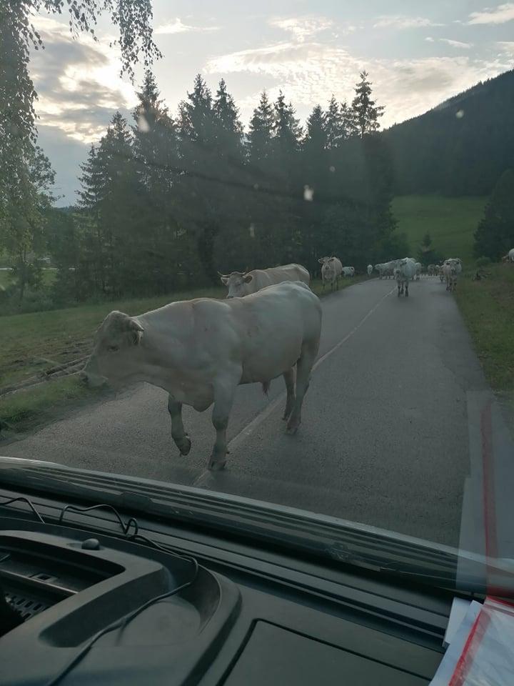 kravy na ceste Orava 2